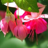 広島市植物公園「フクシア」