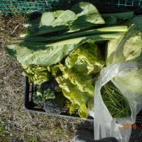 今日の収穫 ハクサイ ダイコン カブ キャベツ ブロッコリー サラダ菜 コマツナ ニラ