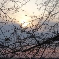気になっています・・・・遊歩道の桜。庭も~