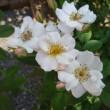 「フラワーガール」という掘り出し物の薔薇