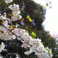 飛鳥山公園でお花見