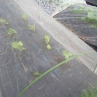 玉レタス「シスコ」の植え付け
