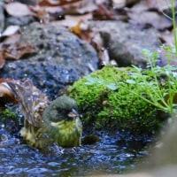 アオジとシジュウカラの水浴び