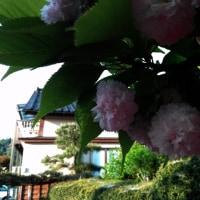 満開の記念樹 ケンロクキクザクラ
