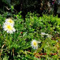 お墓参りは、好き好き春の野草めぐりニャり~♪