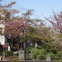 シモキタ界隈、八重桜 2017