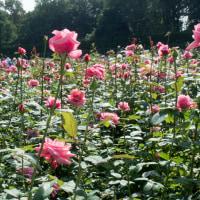 Visiting rose garden