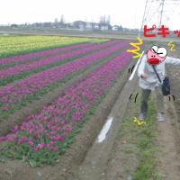 チューリップ畑と銭婆さん