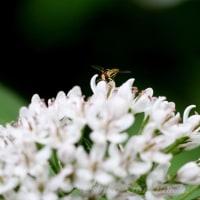 「オカトラノオ」の花