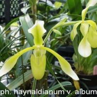 パフィオ・ハイナルディアナムの白花(Paph. haynaldianum v. album)