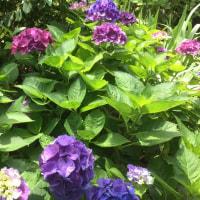 昨日の雨風で紫陽花が倒れて