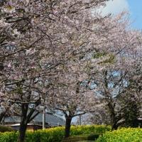 有明の森公園 桜と菜の花 in島原