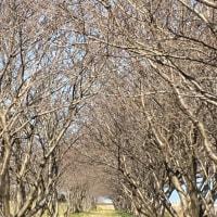 日吉津の桜並木