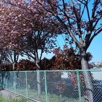未だ満開の桜がありました