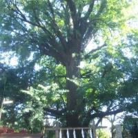 銀杏の大樹4