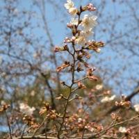 咲いた咲いた桜が咲いた~