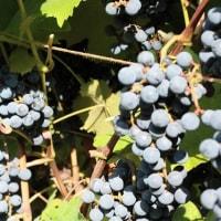 市販の鶏の唐揚げを使って酢豚風♪ワイン用ブドウの収穫