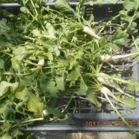 今日の収穫 間引きダイコン キヌサヤ
