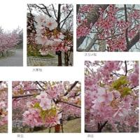 早咲きの桜は今(2)