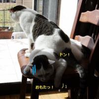 マロ君 椅子になる(汗