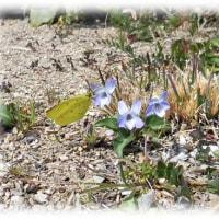 春が来~た春が来た…(^^♪初見参!「モンキチョウ(紋黄蝶)」さまの御成り~。
