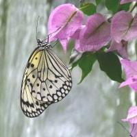 オオゴマダラチョウ(大胡麻斑蝶)