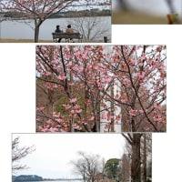 佐鳴湖の春 河津桜が咲き出した