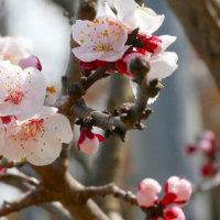 早春の庭・・・アンズの花が咲いてきました