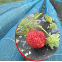 イチゴの収穫開始