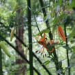 オニユリ(ユリ科・ユリ属)多年草