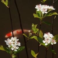 カマツカ の花