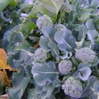 ブロッコリー栽培、頂花蕾と側枝蕾を収穫、そら豆開花した、アブラムシが0匹