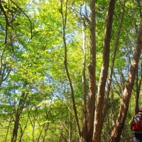 3 二ヶ城山(483m:安佐北区)登山  上には新緑が