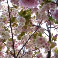 ★大阪 造幣局 桜の通り抜けに行って来た!