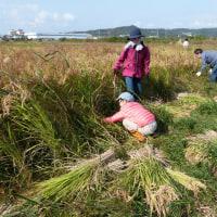自然農たのしい稲作教室・倉敷 稲刈り