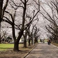 八戸市 新井田公園の桜☆