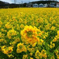 『花便り』 菜の花畑