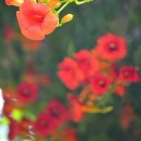 ノウゼンカズラの咲く頃 ~愛染まつりは6月30日から3日間