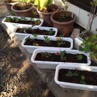 イチゴの苗を植えました