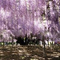 玉敷神社のふじ棚
