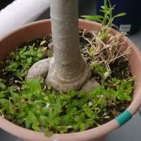 ベランダの鉢植え達