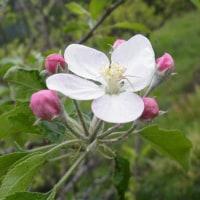 暖かい地方のリンゴの花とボタン