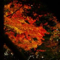 昭和記念公園の紅葉