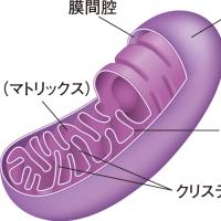 ●ミトコンドリアの内部構造