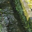 オオシオカラトンボを観察