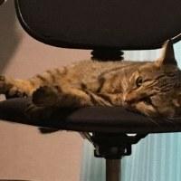椅子の上で休むボンちゃんと、お腹の上で寝ているミーさん。