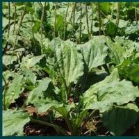 糖尿病」を、野草オオバコが予防します。