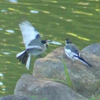 フリー素材 : 野鳥 ・ 翡翠  於大公園のハクセキレイ
