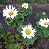 季節の花「浜菊」