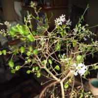 室内ではラッキーライラックが咲いている!